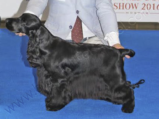 INT Ch, UKR Ch, EU Winner `17, Klub Winner `17, Best Spaniel of the Year 2016&2017 Ambrosial Allegra Big City Life
